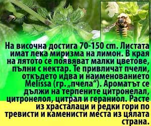 пчели melissa officinalis маточина