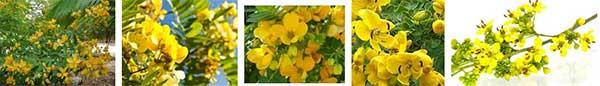 билки за нервен стомах, нередовен стомах сена (майчин лист)