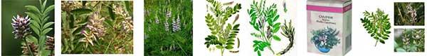 билки за нервен стомах, нередовен стомах сладник (сладък корен)