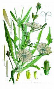 цикория синя жлъчка рецепти чай - 018