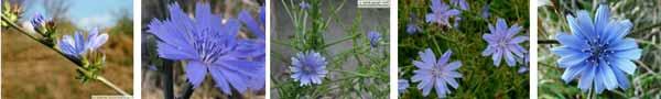 цикория синя жлъчка рецепти чай - 017