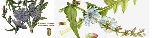 цикория синя жлъчка рецепти чай - 016