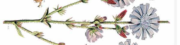 цикория синя жлъчка рецепти чай - 015