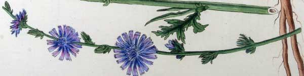 цикория синя жлъчка рецепти чай - 014