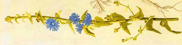 цикория синя жлъчка рецепти чай - 013