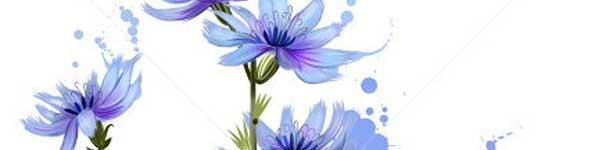 цикория синя жлъчка рецепти чай - 012
