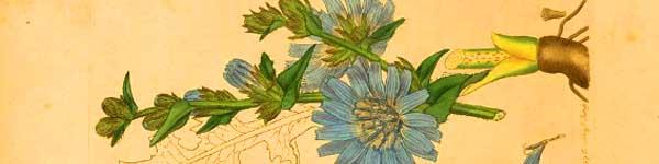 цикория синя жлъчка рецепти чай - 01