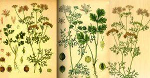кориандър билка чай лечебни свойства масло