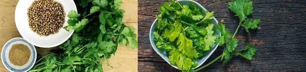 кориандър билка чай лечебни свойства семена