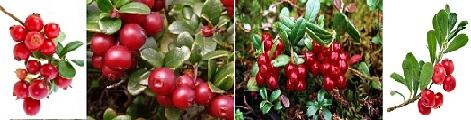 мечо грозде и червена боровинка , лековити билки във Фигурин