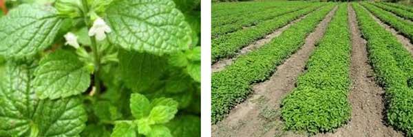 метаболизъм ускоряване с билки