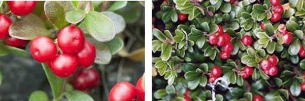 метаболизъм засилване с билки