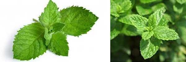 метаболизъм билки за по-бърза обмяна