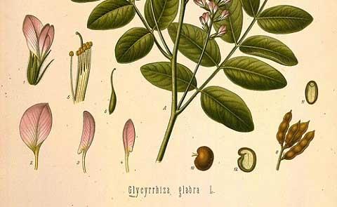 Женско биле (сладък корен): за отслабване и лечение. Рецепти и указания